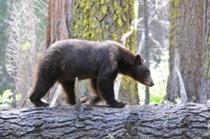 Ein echter Bär! Für uns ein Knüller - Im Sequoia National Park.